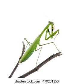 Mantis on white background