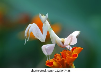 Mantis orchids above flowers await prey, beautiful mantis orchid