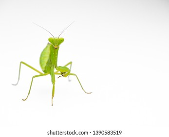 It is a mantis photographed in Japan.