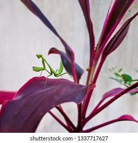 Mantis or Praying Mantis, Mantis religiosa Beautiful mantis standing on leaf