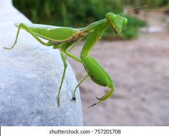 Mantis or Praying Mantis, Mantis religiosa, on leaf