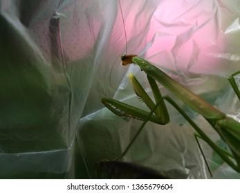 Mantis or Praying Mantis, Mantis religiosa in plastic bag. pollution problem. Environmental issue.