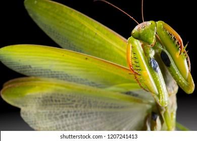 Mantis, Mantis religiosa