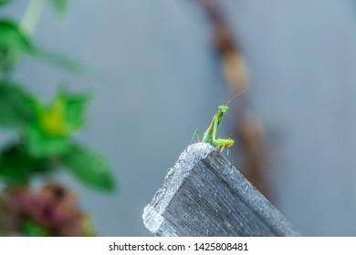 Mantis religiosa (common mantis) climbing vertical plank