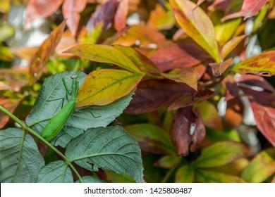 Mantis religiosa (common mantis) in the peony leaves