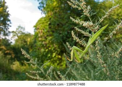 Mantis religiosa (european mantis)