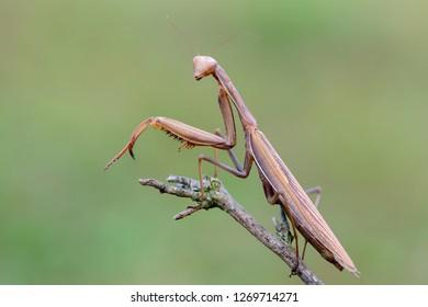 Mantis religiosa - European mantis