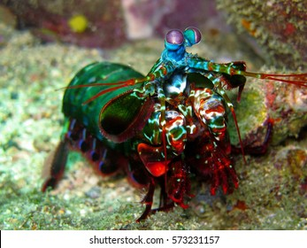 Mantis shrimp.