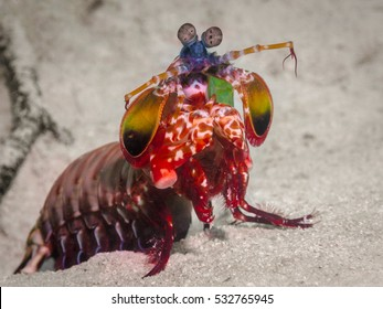 Mantis Shrimp fully out showing it's beautiful colors