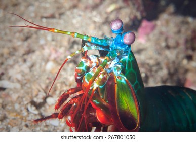 A mantis shrimp lives on a coral reef in the Philippines.