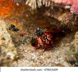mantis shrimp in south Andaman