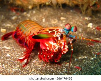 mantis shrimp underwater