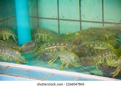 mantis shrimp used to make seafood
