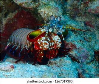 Mantis shrimp and various corals and fish on a coral reef under the sea surface