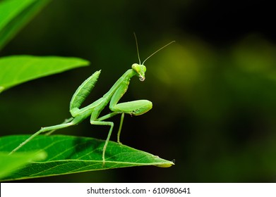 mantis standing on green leaf, little hunter of nature