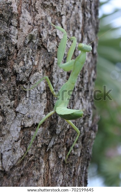 mantis staying on the tree