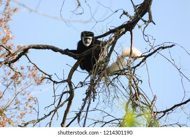 Mantled guereza sitting on a tree in Kilimanjaro National Park, Tanzania
