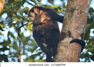 Mantled howler monkey with a cub on a tree, Bocas del Toro islands, Panama