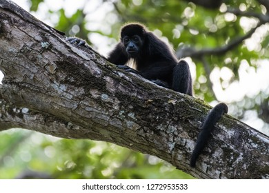 Mantled howler monkey in a tree in Carara National Park