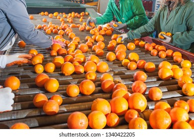 Manual checking of tarocco fruits after the washing process in an industrial store