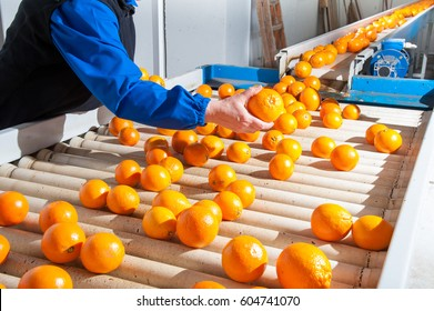 Manual checking of tarocco oranges in the carriage of a modern production line