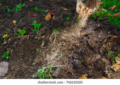 Manual garden fertilizing: strewing soil with a manure by hands.