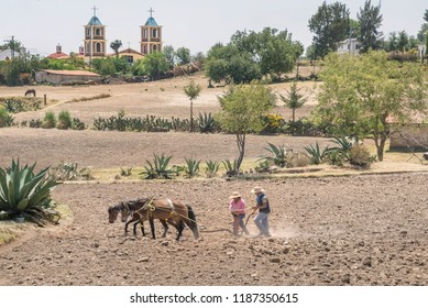 Manual Mexican corn planting Horse pulled plough in a Mexico's farming field