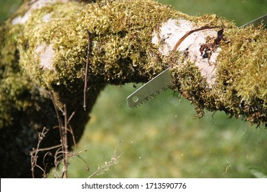 Manual saw to cut dead wood branch in an orchard
