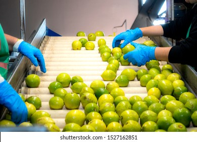 Manual selection of lemons on conveyor belt in food industry