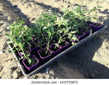 Manual sowing process for own consumption. Subsistence agriculture. Planting tomatoes in the garden. Tray of small tomato plants to transplant in the orchard, planting in rows, furrows.