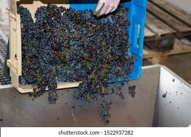manual unloading of the harvested grapes at the winery