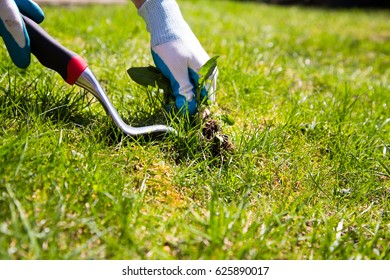 manual weed control. A garden gloved hand manually pulls a weed from the grass with the help of a weed pulling tool.