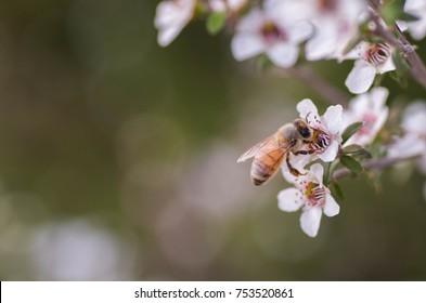 Manuka Flower with bee collecting nectar to produce medicinal Manuka Honey