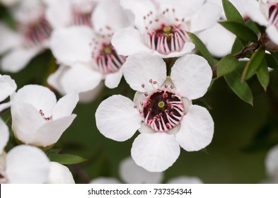 Manuka flower from which manuka honey with medicinal benefits is made