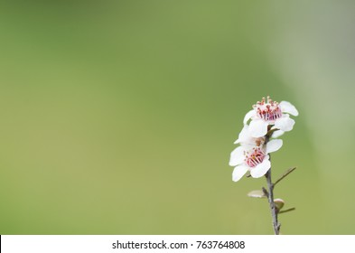 Manuka flowers from which manuka honey with medicinal benefits is made with space on the left