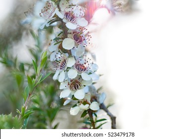 Manuka flowers (with white space) from which bees make manuka honey with medicinal benefits