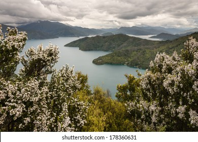 manuka trees above Queen Charlotte Sound