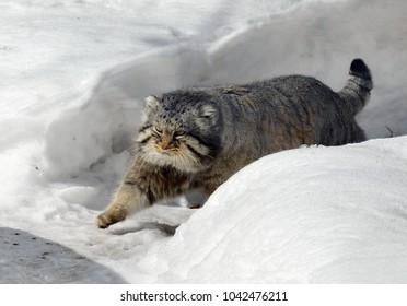 Manul cat (Felis cat) in winter