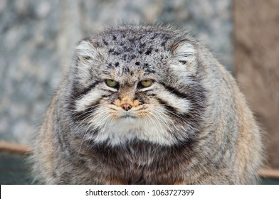 Manul, or Pallas cat, or wild cat. It is a wild cat living in Central and Central Asia.
