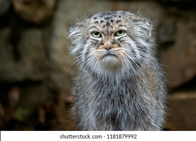 Manul or Pallas's cat, Otocolobus manul, cute wild cat from Asia.