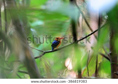 Manus Dwarf-Kingfisher (Ceyx dispar) female in Manus Island, Papua New Guinea