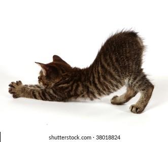 Manx kitten stretching on a white background