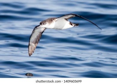 Manx Shearwater, (Puffinus puffinus), flying low over the sea off Lands End, Cornwall, England, UK.