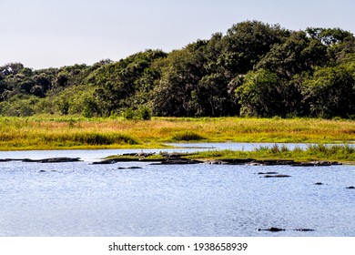 Many alligators predators in deep hole alligator lake pond in Myakka River State Park, Sarasota, Florida sunbathing