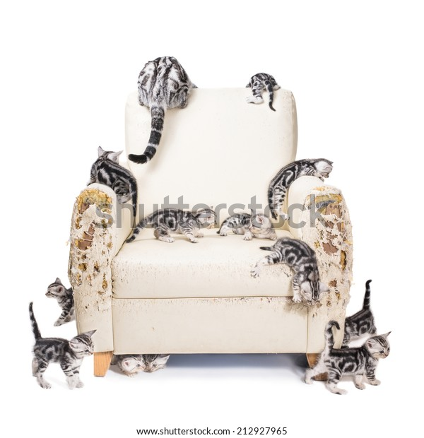 Many American shorthair kittens Destroyed the sofa