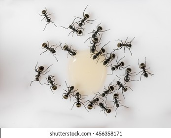Many ants. Ants drink syrup from the big drop. White background, top view