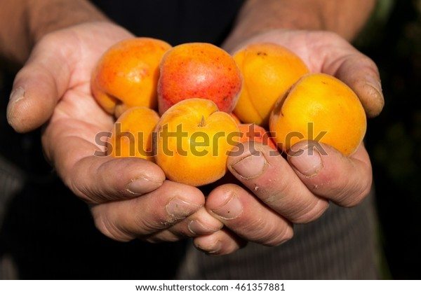 Many apricot in their hands. Old man holding apricots in palms. Close-up.