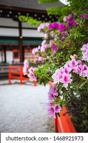 """Many azalea flowers, or also known as """"tsutsuji"""" in Japanese, in pink and white colours, can be seen in the historic Shimogamo Shrine located in Kyoto City, Japan."""