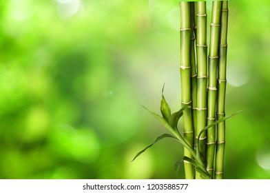 Many bamboo stalks on blurred background