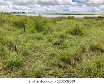 Many Banded Mongoose near burrows by salt lake at Serengeti National Park in Tanzania, East Africa